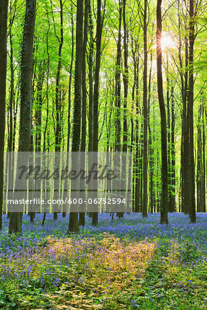 Sun through beech forest with bluebells in spring hallerbos halle