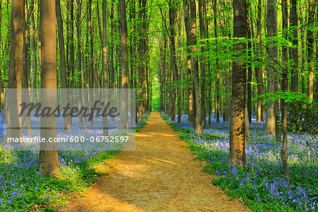 Path through Beech Forest with Bluebells in Spring, Hallerbos, Halle, Flemish Brabant, Vlaams Gewest, Belgium Stock Photo - Premium Royalty-Free, Image code: 600-06752597