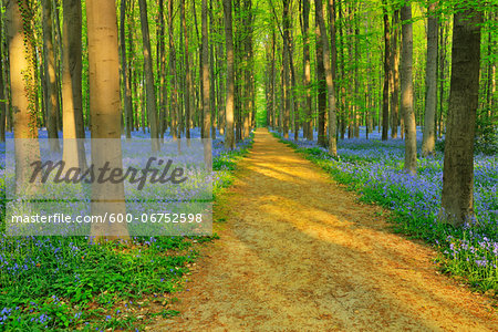 Path through Beech Forest with Bluebells in Spring, Hallerbos, Halle, Flemish Brabant, Vlaams Gewest, Belgium Stock Photo - Premium Royalty-Free, Image code: 600-06752598