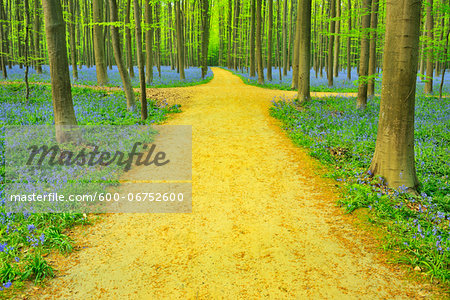 Path with Crossroads in Beech Forest with Bluebells in Spring, Hallerbos, Halle, Flemish Brabant, Vlaams Gewest, Belgium Stock Photo - Premium Royalty-Free, Image code: 600-06752600