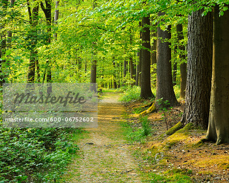 Path through Forest in Spring, Hallerbos, Halle, Flemish Brabant, Vlaams Gewest, Belgium Stock Photo - Premium Royalty-Free, Image code: 600-06752602