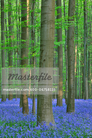 Beech Forest with Bluebells in Spring, Hallerbos, Halle, Flemish Brabant, Vlaams Gewest, Belgium Stock Photo - Premium Royalty-Free, Image code: 600-06758115