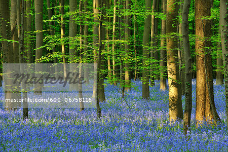 Beech Forest with Bluebells in Spring, Hallerbos, Halle, Flemish Brabant, Vlaams Gewest, Belgium Stock Photo - Premium Royalty-Free, Image code: 600-06758116
