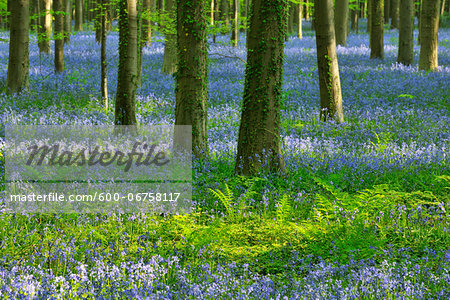 Beech Forest with Bluebells in Spring, Hallerbos, Halle, Flemish Brabant, Vlaams Gewest, Belgium Stock Photo - Premium Royalty-Free, Image code: 600-06758117
