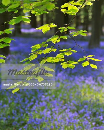 Beech Leaves with Bluebells in Spring, Hallerbos, Halle, Flemish Brabant, Vlaams Gewest, Belgium Stock Photo - Premium Royalty-Free, Image code: 600-06758120