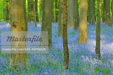 Beech Forest with Bluebells in Spring, Hallerbos, Halle, Flemish Brabant, Vlaams Gewest, Belgium Stock Photo - Premium Royalty-Free, Image code: 600-06758129