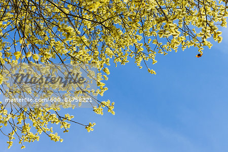Flowering Goat Willow (Salix caprea) with Male Willow Catkins in Spring, Franconia, Bavaria, Germany Stock Photo - Premium Royalty-Free, Image code: 600-06758221