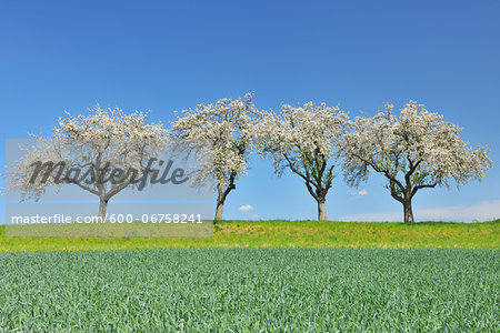 Row of Blossoming Apple Trees in Spring, Monchberg, Spessart, Bavaria, Germany Stock Photo - Premium Royalty-Free, Image code: 600-06758241