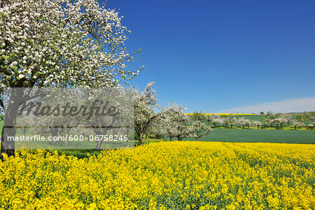Countryside with Canola Field and Apple Trees in Spring, Monchberg, Spessart, Bavaria, Germany Stock Photo - Premium Royalty-Free, Image code: 600-06758246