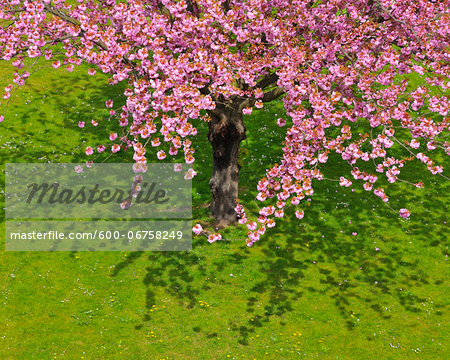 Blossoming Cherry Tree in Spring, Obernburg, Spessart, Bavaria, Germany Stock Photo - Premium Royalty-Free, Image code: 600-06758249