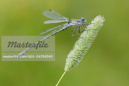 Close-up of Male Emerald Damselfly (Lestes sponsa), Bavaria, Germany Stock Photo - Premium Royalty-Free, Image code: 600-06758340