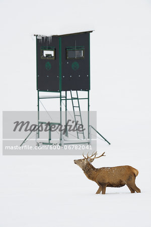 Male Red Deer (Cervus elaphus) in Winter, Hunting Blind in Background, Bavaria, Germany Stock Photo - Premium Royalty-Free, Image code: 600-06782041