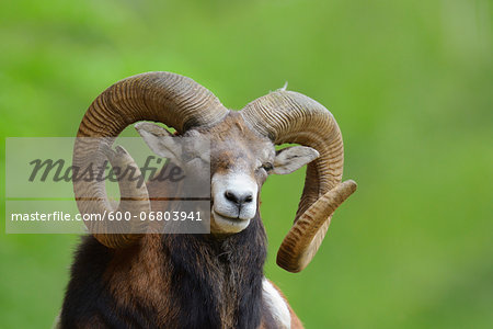European Mouflon (Ovis orientalis musimon) Ram, Hesse, Germany, Europe Stock Photo - Premium Royalty-Free, Image code: 600-06803941