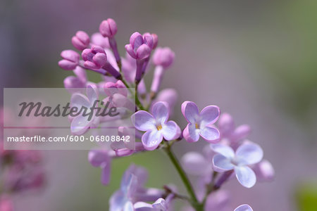 Close-up of Common Lilac (Syringa vulgaris) in Garden in Spring, Bavaria, Germany Stock Photo - Premium Royalty-Free, Image code: 600-06808842