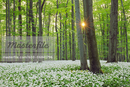 Ramsons (Allium ursinum) in European Beech (Fagus sylvatica) Forest in Spring, Hainich National Park, Thuringia, Germany Stock Photo - Premium Royalty-Free, Image code: 600-06841796