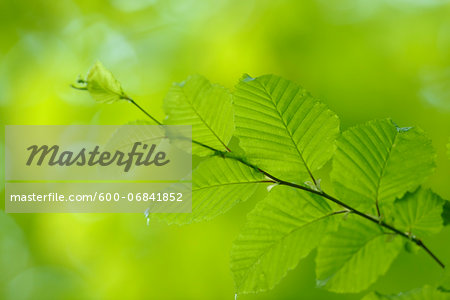 Close-up of Common Hornbeam (Carpinus betulus) Branch with Leaves in Spring, Bavaria, Germany Stock Photo - Premium Royalty-Free, Image code: 600-06841852