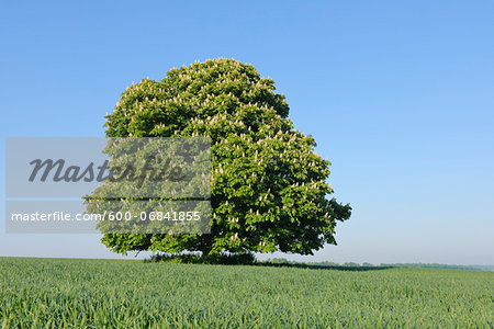 Horse Chestnut Tree (Aesculus hippocastanum) in Bloom in Spring, Bavaria, Germany