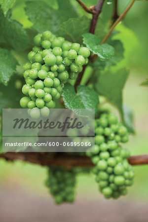 Bunches of Unripe White Grapes on Vine after Rain Shower, Niagara Region, Ontario, Canada Stock Photo - Premium Royalty-Free, Image code: 600-06895066