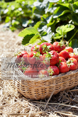 Close-up of basket of strawberries in field, Germany Stock Photo - Premium Royalty-Free, Image code: 600-06899776