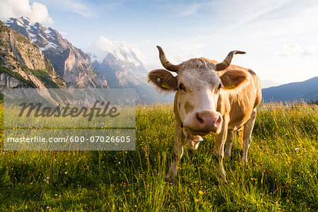 Cow wearing Bell in front of Eiger Mountain, Bernese Alps, Grindelwald, Canton of Bern, Switzerland Stock Photo - Premium Royalty-Free, Image code: 600-07026605