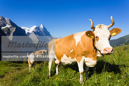 Alpine cows in front of Mount Eiger, Bernese Alps, Switzerland Stock Photo - Premium Royalty-Free, Image code: 600-07066988