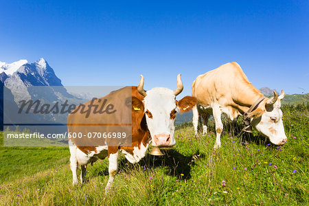 Alpine cows in front of Mount Eiger, Bernese Alps, Switzerland Stock Photo - Premium Royalty-Free, Image code: 600-07066989