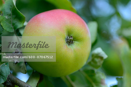 Close-up of Apple on Tree, Styria, Austria Stock Photo - Premium Royalty-Free, Image code: 600-07067512