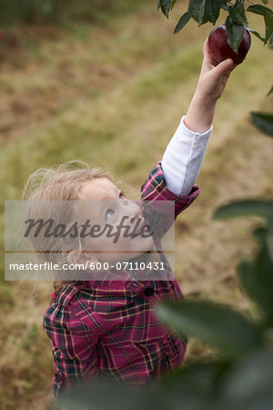 Girl Picking Apples in Orchard, Milton, Ontario, Canada Stock Photo - Premium Royalty-Free, Image code: 600-07110431