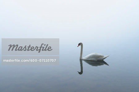 Mute Swan (Cygnus olor) on Lake in Early Morning Fog, Hesse, Germany Stock Photo - Premium Royalty-Free, Image code: 600-07110707