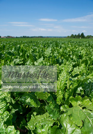 Overview of beet plants in field, Germany Stock Photo - Premium Royalty-Free, Image code: 600-07148317