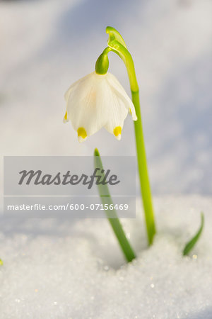 Close-up of Blooming Snowdrops with Snow in Spring, Spessart, Bavaria, Germany Stock Photo - Premium Royalty-Free, Image code: 600-07156469