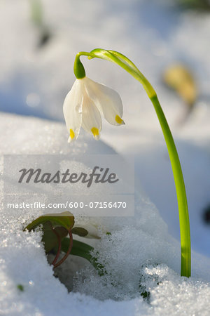 Close-up of Blooming Snowdrops with Snow in Spring, Spessart, Bavaria, Germany Stock Photo - Premium Royalty-Free, Image code: 600-07156470