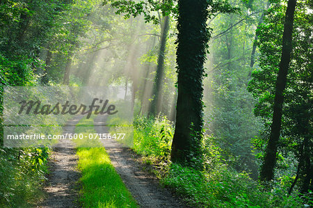 Forest Path with Morning Mist in Summer, Grossheubach, Franconia, Bavaria, Germany