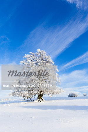 European Beech (Fagus sylvatica) Tree covered with Hoar Frost in Winter, Hesse, Germany Stock Photo - Premium Royalty-Free, Image code: 600-07238091