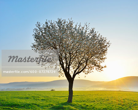 Blossoming Cherry Tree in Spring at Sunrise, Miltenberg, Spessart, Franconia, Bavaria, Germany Stock Photo - Premium Royalty-Free, Image code: 600-07278729
