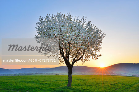 Blossoming Cherry Tree in Spring at Sunrise, Miltenberg, Spessart, Franconia, Bavaria, Germany Stock Photo - Premium Royalty-Free, Image code: 600-07278731