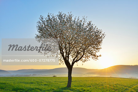 Blossoming Cherry Tree in Spring at Sunrise, Miltenberg, Spessart, Franconia, Bavaria, Germany Stock Photo - Premium Royalty-Free, Image code: 600-07278775