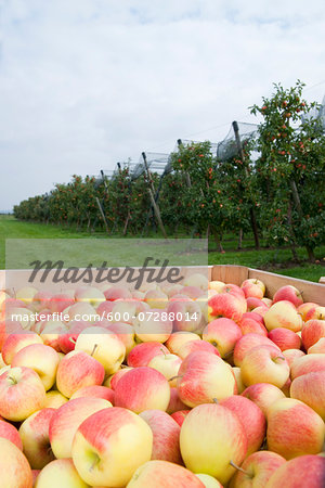 Close-up of big boxes filled with apples in front of field with rows of apple trees in orchard at harvest, Germany Stock Photo - Premium Royalty-Free, Image code: 600-07288014