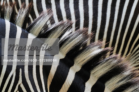Close-up of Grevy's Zebra (Equus grevyi) Stripes in Zoo, Nuremberg, Bavaria, Germany Stock Photo - Premium Royalty-Free, Image code: 600-07288084