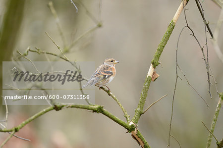 Close-up of a Common Chaffinch (Fringilla coelebs) sitting on a little branch Stock Photo - Premium Royalty-Free, Image code: 600-07311359