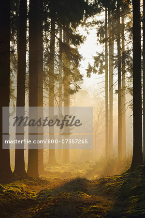 Spruce Forest in Early Morning Mist at Sunrise, Odenwald, Hesse, Germany Stock Photo - Premium Royalty-Free, Image code: 600-07357265