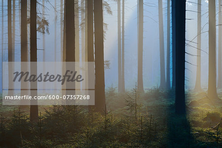 Spruce Forest in Early Morning Mist, Odenwald, Hesse, Germany Stock Photo - Premium Royalty-Free, Image code: 600-07357268