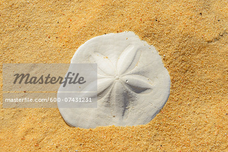 Close-up of Fossilized Sand Dollar in Desert, Matruh, Great Sand Sea, Libyan Desert, Sahara Desert, Egypt, North Africa, Africa Stock Photo - Premium Royalty-Free, Image code: 600-07431231