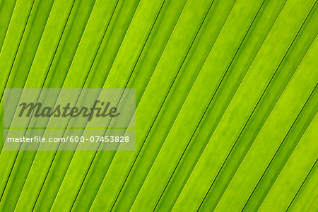 Close-up of Leaf from Coco de Mer Palm Tree, Vallee de Mai Nature Preserve, Praslin, Seychelles Stock Photo - Premium Royalty-Free, Image code: 600-07453828