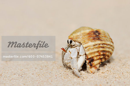 Hermit Crab (Anomura) on Sand of Beach, La Digue, Seychelles Stock Photo - Premium Royalty-Free, Image code: 600-07453841