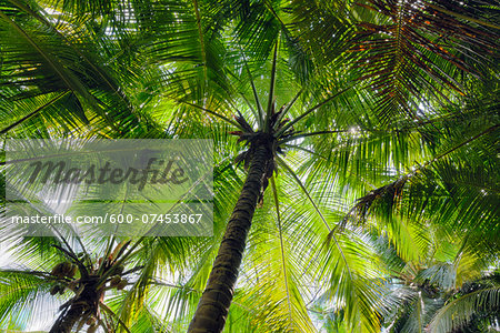 Looking up at Palm Trees, Mahe, Seychelles Stock Photo - Premium Royalty-Free, Image code: 600-07453867