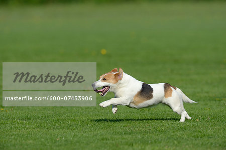 Jack Russell Terrier Running in Meadow, Bavaria, Germany