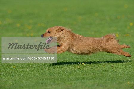 Australian Terrier Running in Meadow, Bavaria, Germany