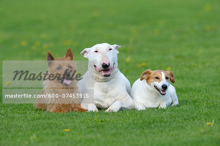 Portrait of Australian Terrier, English Bull Terrier and Jack Russell Terrier together in Meadow, Bavaria, Germany