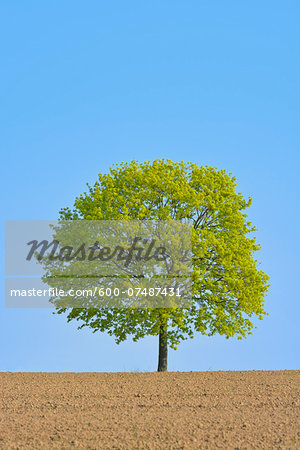 Field maple (Acer campestre) on field, Odenwald, Hesse, Germany, Europe Stock Photo - Premium Royalty-Free, Image code: 600-07487431